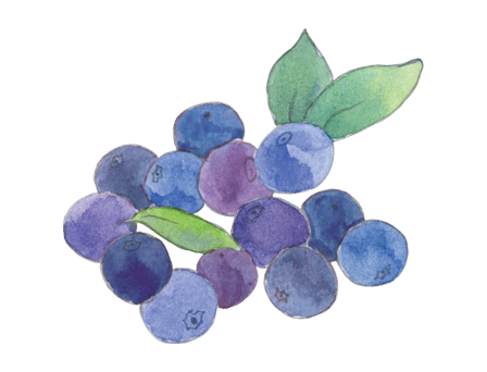 Blueberries illustration